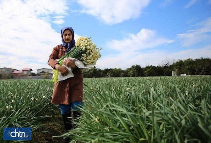 دومین جشنواره گل نرگس در جویبار برگزار می گردد